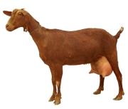cabra malaguena